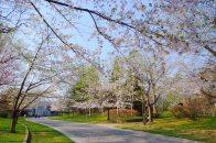 Nakajima_Park Sakura