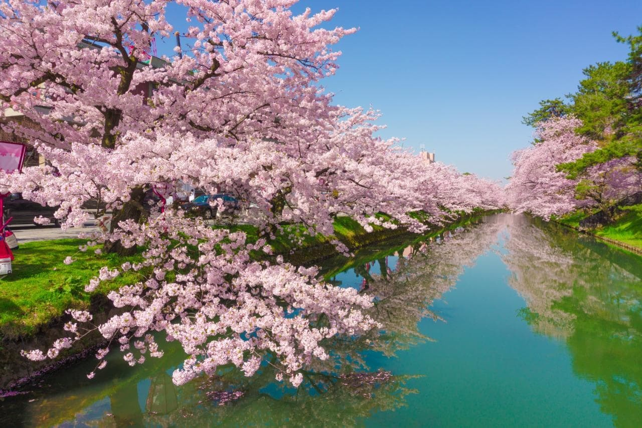 cherry-blossom-japan